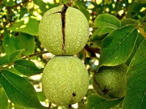 oreh drevo
