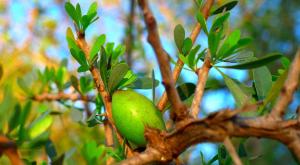arganovo olje uporaba