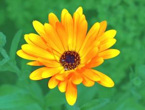 ognjič cvet