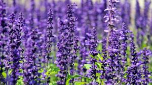 sivka cvetovi