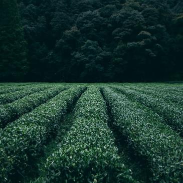 Česa o zelenem čaju še niste vedeli?